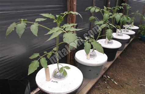 mudah menanam tomat hidroponik sederhana sistem