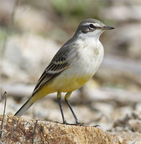 Another Bird Blog Grey Or Yellow?