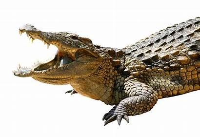 Crocodile Transparent Saltwater Clipart Head Alligator Reptile