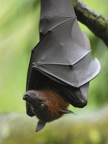 large flying fox pteropus vampyrus male roosting
