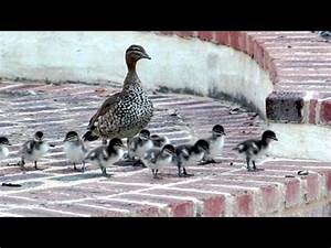 Baby Steps. 13 Ducklings tackle the stairs. Cute ducklings ...