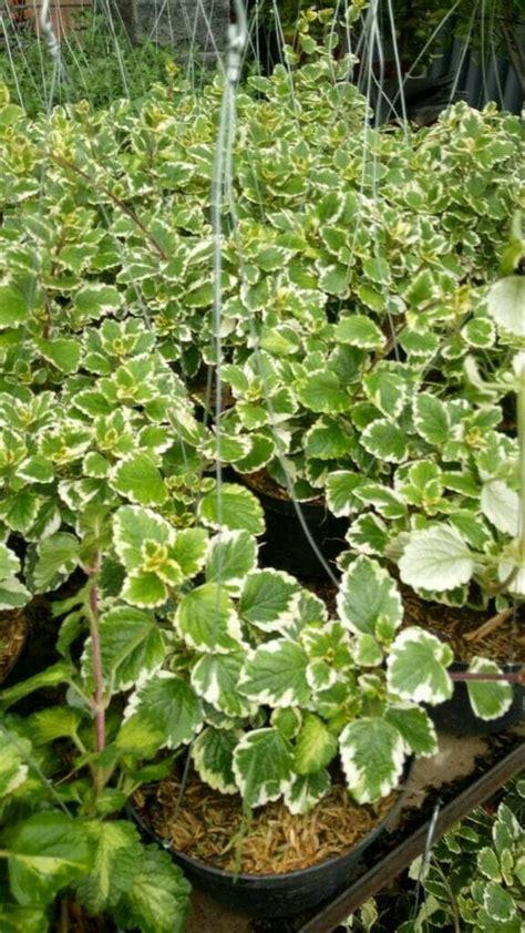 jual tanaman hias gantung creeping charlie lapak agro