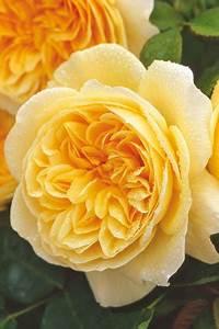 Rose Mein Schöner Garten : kletterrosen die besten sorten f r rosenb gen mein ~ Lizthompson.info Haus und Dekorationen