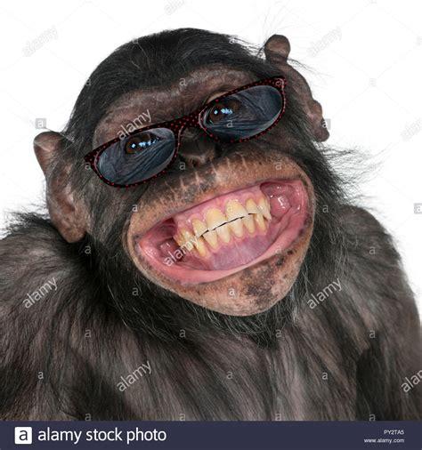 chimpanzee with glasses stock chimpanzee with glasses stock alamy
