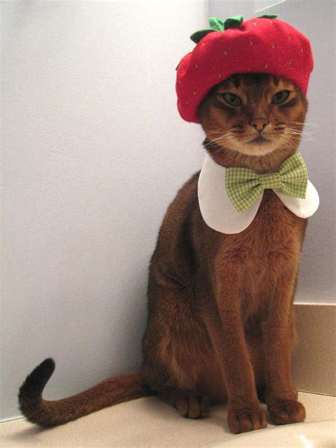 funny pictures  cats dressed   people   cutest