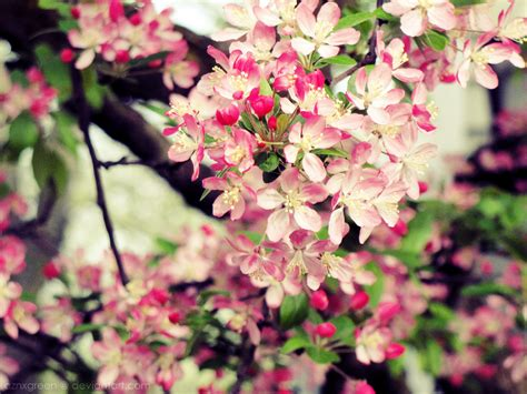 cherry tree blossoms wish list wednesday 03 28 2012 the bibliotaphe closet