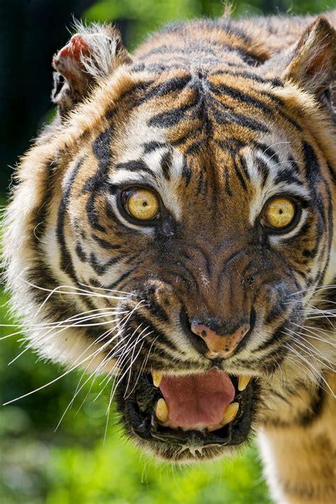Sumatran Tigress Looking Scary Tambako The Jaguar