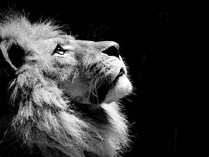 Photo Collection Black And White Lion Wallpaper Hd