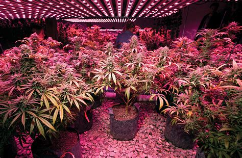 marijuana grow lights grow guide choosing the best lights marijuana