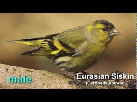 siskin eurasian siskin bird call birdsong youtube