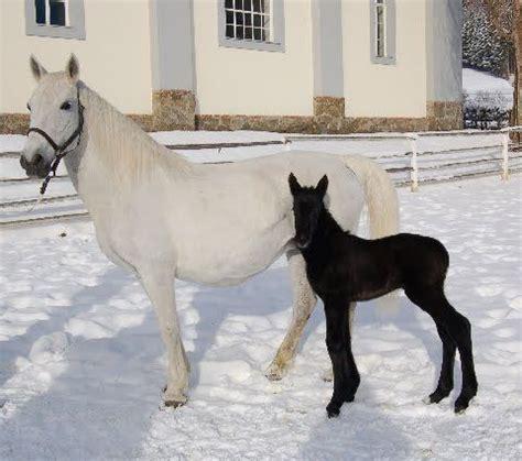 lipizzaner lipizzan horses horse foal mare presents