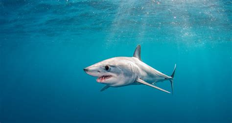 The great race to save the shortfin mako shark | Virgin
