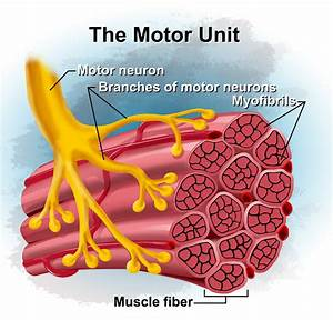 Unit 3  Ch  11 Muscular System At University Of Wisconsin