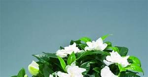 Gardenia Jasminoides Pflege : gardenie gardenia jasminoides mein sch ner garten ~ A.2002-acura-tl-radio.info Haus und Dekorationen