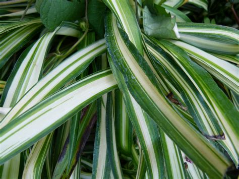 what of plant is this 5 plants that clean the air green ribbon