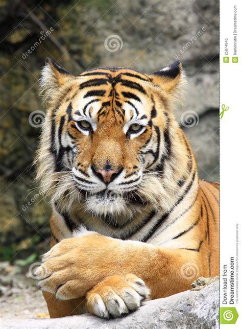 close    tigers face stock photo image  head