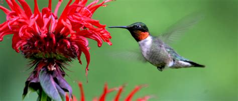 vertebrate pollinators   vital