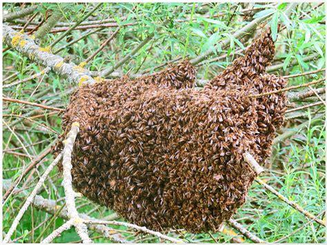 bienenvolk kaufen bienenvolk foto bild natur tiere wildlife bilder auf