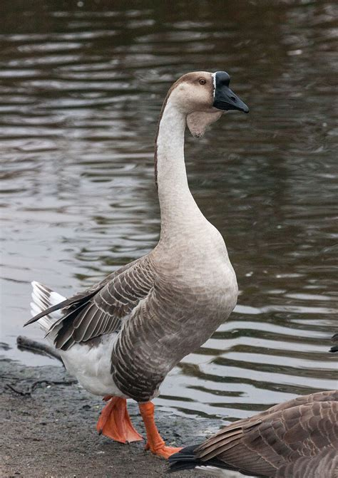 african goose wikipedia