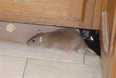 roof rats portland pest guard