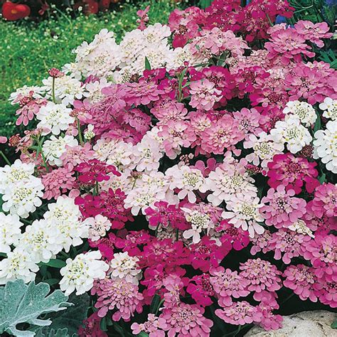 candytuft fairy seeds mixed candy flower seed mix pink plant annual plants mr mixture leaves callistemon hover enlarge zoom