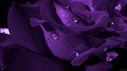 Purple Rose Wallpapers Roses Background Dark 1080p