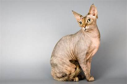 Sphynx Cat Hq Wallpapers