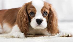 Top 12 Cutest Small Dog Breeds - Dog Notebook