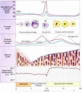 Anatomy And Physiology  Ovarian Cycle