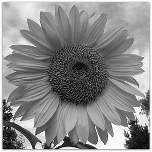 Giant Sunflower In Black And White - Plant & Nature Photos ...