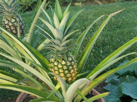pineapple plant pineapple plant by lilyzoe07 on deviantart