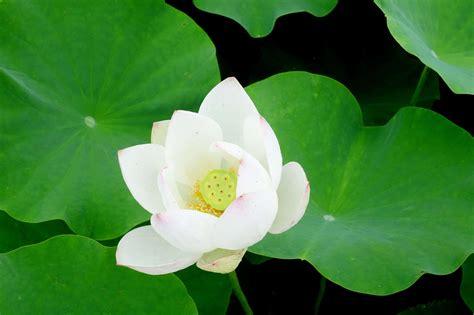 picture nature lotus leaf wildflower garden