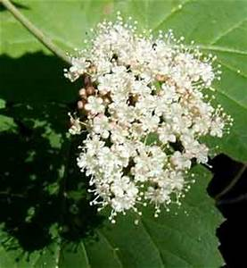 Viburnum Bouquets in the Forests of Pennsylvania