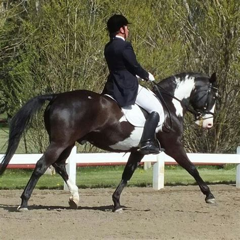 dressage horses horse breed traditional rocking level non upper colors training
