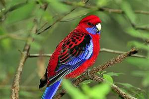 Oiseau Jaune Et Bleu : oiseau rouge photo d un oiseau jitep ~ Melissatoandfro.com Idées de Décoration