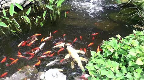 Garden Goldfish by Feeding Goldfish And Koi In Our Backyard Garden Pond