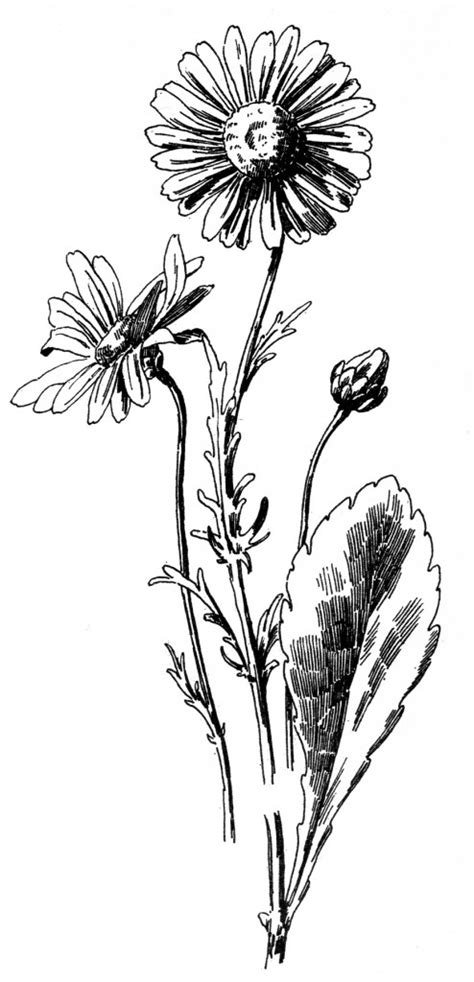 daisy drawing  graphics fairy