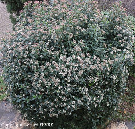 le laurier tin un arbuste avec toutes les qualit 233 s