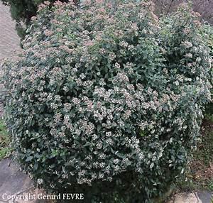 Laurier Tin : le laurier tin un arbuste avec toutes les qualit s ~ Mglfilm.com Idées de Décoration