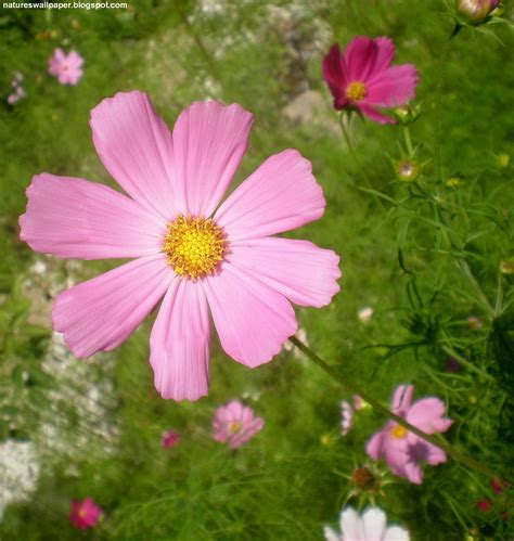 picture of cosmos flower cosmos flower pictures beautiful flowers