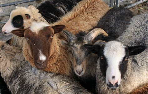 color sheep five colors of shetland sheep utterly gorgeous how can i