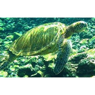 Animals Plants Rainforest: Green sea turtle (Chelonia mydas)