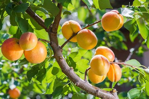 healing benefits  apricots healing  body