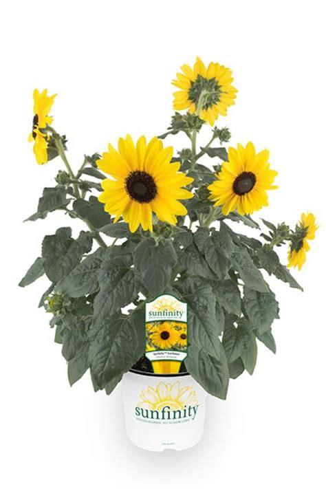 sunfinity sunflower sunfinity