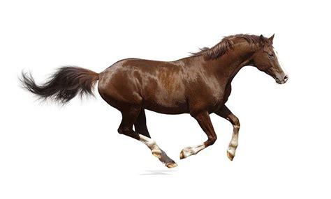 horse trakehner brown stallion isolated breeds thoroughbred smartest loyal horses shutterstock