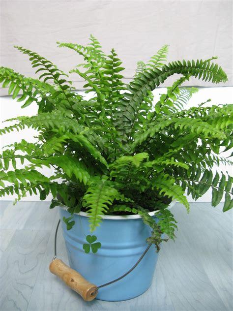 fern house plants fertilizing boston ferns how to fertilize boston ferns