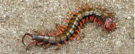 free floor planner centipede in hawaii i was stung today