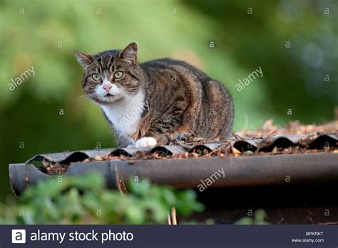 tabby cat shedding tabby cat with white bib and nose on corrugated iron shed