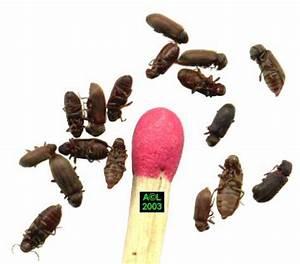 Insecte Qui Mange Le Bois : les vrillettes xestobium rufovillosum et anobium ~ Farleysfitness.com Idées de Décoration