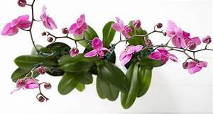 The Orchid: Meaning & History Behind This Exotic Flower